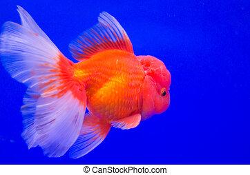Goldfish in aquarium