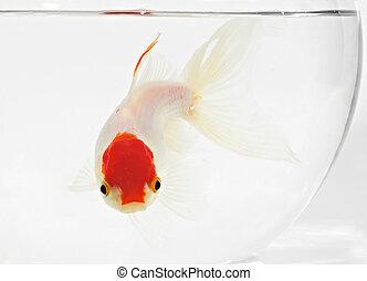 goldfish in bocal