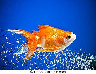 goldfish in dark blue water...