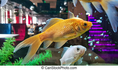 Goldfish in freshwater aquarium with green beautiful planted tropical.