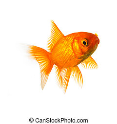 Goldfish in front of white