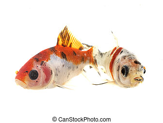 goldfish in studio - colorful goldfish in front of white ...
