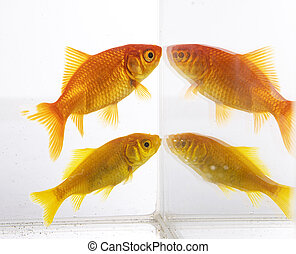 goldfish in studio - red goldfish in front of white ...