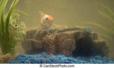 Goldfish in the aquarium at home. Aquarium filer, rock and...