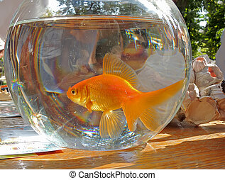 Goldfish in the aquarium