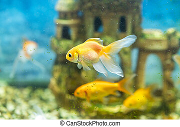 Goldfish in the aquarium on the background of a stone castle