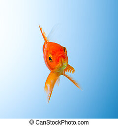 Goldfish in water - A goldfish in a water tank on blue ...