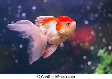 goldfish in water closeup