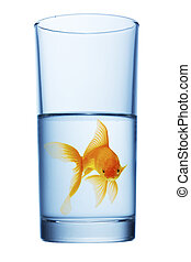 goldfish in water glass