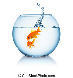 Goldfish is shocked from a jumping fish in a fishbowl