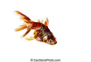 goldfish, isolado, branco, fundo