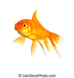 goldfish isolated - A gold fish isolated on white background...