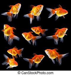 goldfish isolated on black background