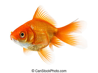 profile of goldfish isolated on pure white background