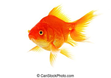 goldfish isolated on white showing success or job search...