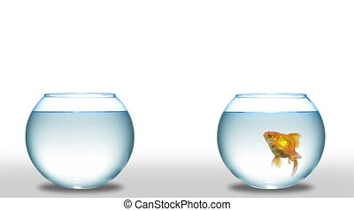 goldfish jumping from one bowl to another. fish out of water...