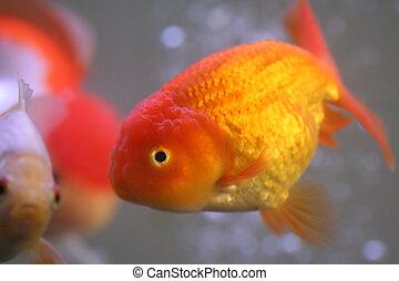 Goldfish - Lion head goldfish