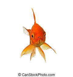 Goldfish looks - A Goldfish isolated on white background. ...