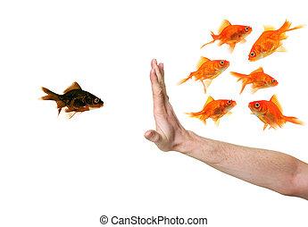 goldfish, mão, pretas, discriminating