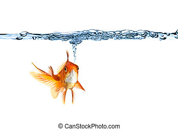 goldfish making air bubbles against white background