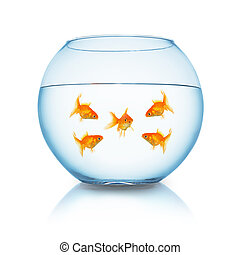 goldfish mobbing in a fishbowl