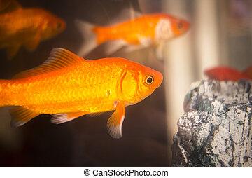 goldfish, natação, em, aquário