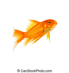 Goldfish of a white background