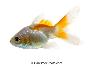 Goldfish Profile Isolated On White