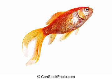 Goldfish - single gold fish isolated on white background