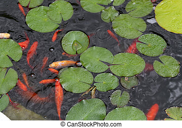 Goldfish swim in a pond with lilies