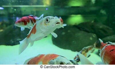 Goldfish swim in an aquarium. Close up
