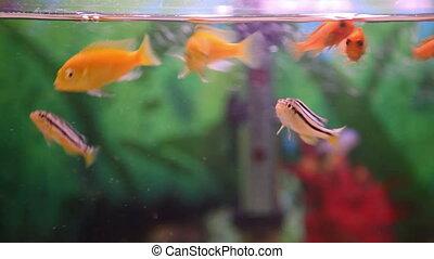 goldfish swim in the aquarium
