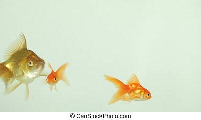 Goldfish Swimming, Eating