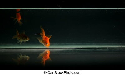Goldfish swimming, eating in an aquarium