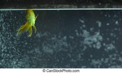 Goldfish Swimming, Eating. Panorama