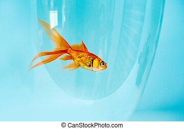 goldfish swimming in a fishbowl on white background, aquarium background