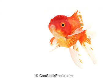 Goldfish swimming in aquarium, white background