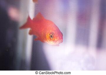 Goldfish swimming in fish tank