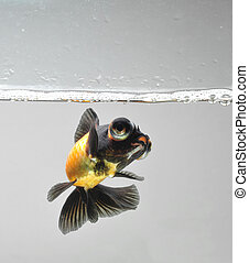 goldfish swimming