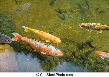 Goldfish swimming underwater in a pool of a garden