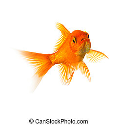 Goldfish swims - A goldfish in water on white background. ...
