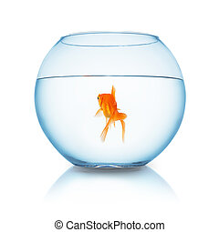 goldfish swims in a fishbowl