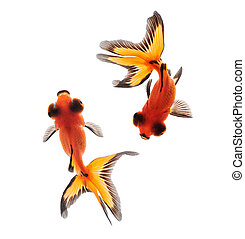 goldfish top view isolated on white