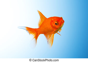 Goldfish under water - A goldfish under water on blue ...