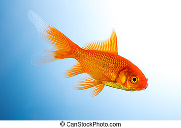 Goldfish underwater - A goldfish in a fish tank on blue ...