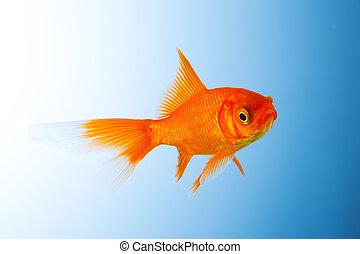 Goldfish unterwater - A goldfish underwater on blue gradient...