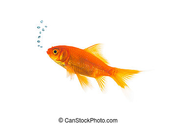 Goldfish with air bubbels - A goldfish underwater with air ...