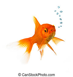 Goldfish with oxygen bubbels - A goldfish with air bubbels ...