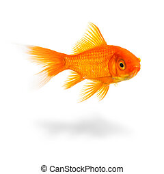 goldfish with shadow - A gold fish on white with shadow. ...