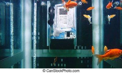 Goldfishes in aquarium like phone b - Goldfishes, Carassius...